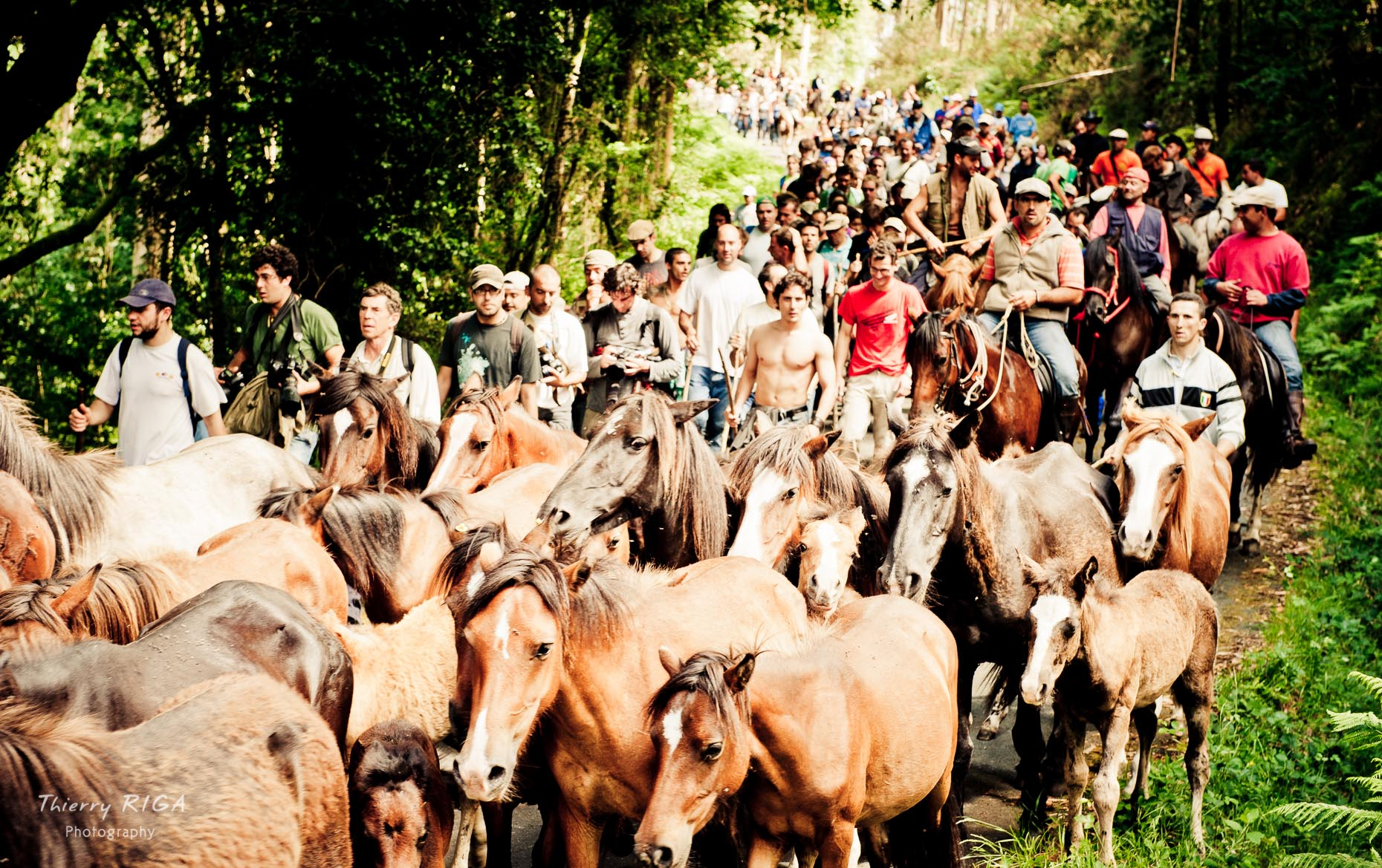 rapa das bestas sabucedo herding horses to the village